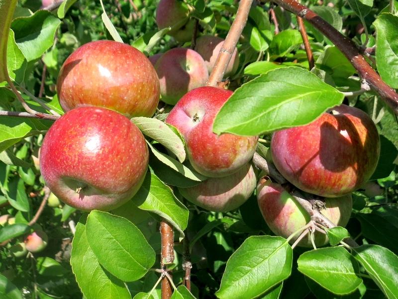 Monkton Ridge Orchard – 79 Rotax Rd North Ferrisburgh, VT 05473
